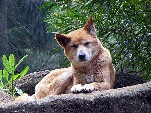 Собака Динго спасает экосистему Австралии