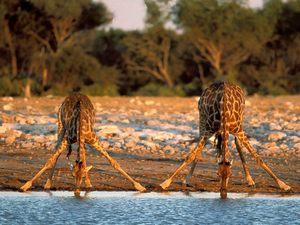 Огромные стада и группы животных можно увидеть буквально в любом уголке Ботсваны