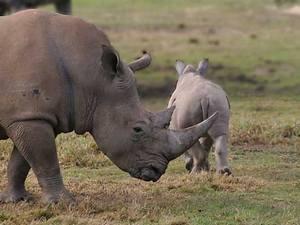 На сегодняшний день парк Шушлуэ-Умфолози является крупнейшим в мире центром по сохранению исчезающего белого носорога